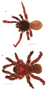 images of a male and female trapdoor spider